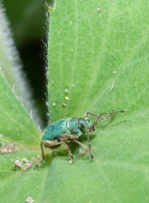 Phyllobius sp.?